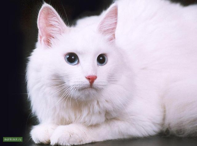 Ангорская кошка, ангорская кошка порода кошки