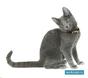 Русская голубая , русская голубая порода кошки