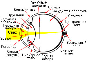 Схема сторения глаза кошки