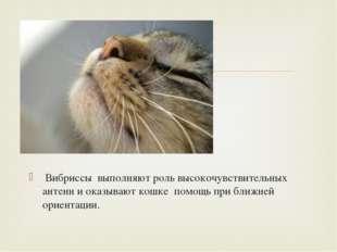 Вибриссы выполняют роль высокочувствительных антенн и оказывают кошке помощь