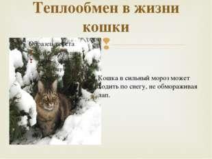 Теплообмен в жизни кошки Кошка в сильный мороз может ходить по снегу, не обмо