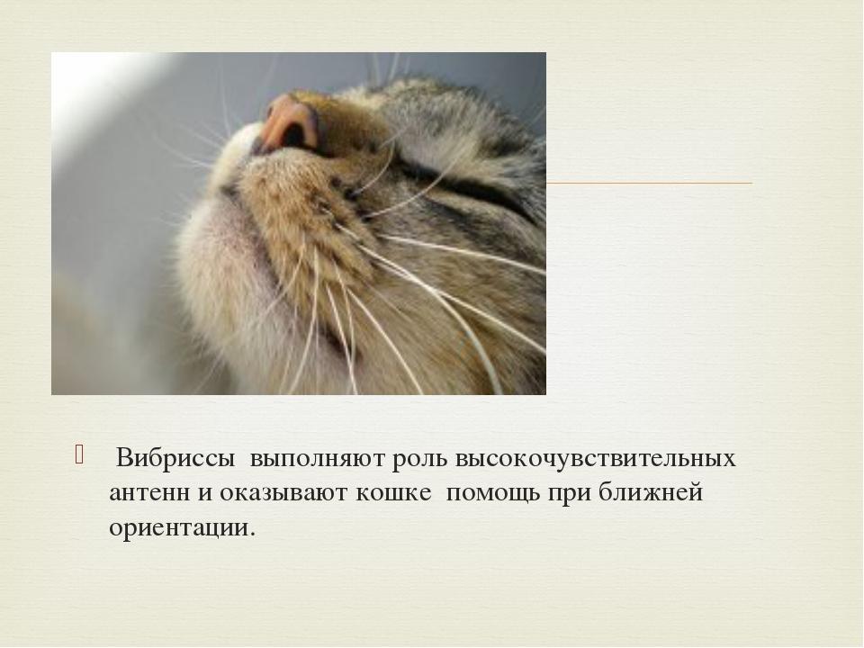 Вибриссы выполняют роль высокочувствительных антенн и оказывают кошке помощь...