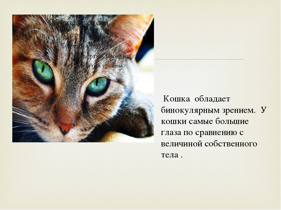Кошка обладает бинокулярным зрением. У кошки самые большие глаза по сравнени...