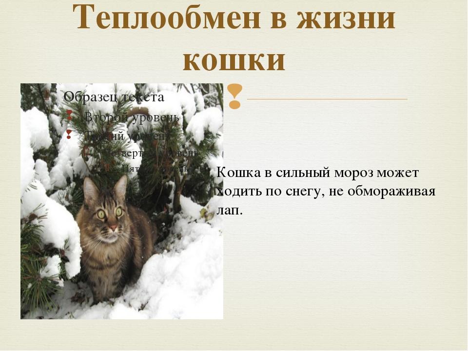 Теплообмен в жизни кошки Кошка в сильный мороз может ходить по снегу, не обмо...
