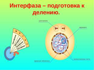 Интерфаза – подготовка к делению.