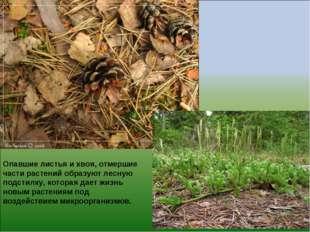 Опавшие листья и хвоя, отмершие части растений образуют лесную подстилку, кот