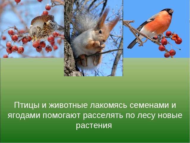 Птицы и животные лакомясь семенами и ягодами помогают расселять по лесу новые...