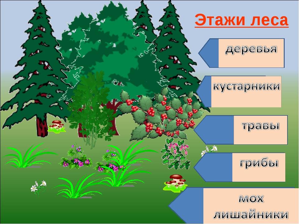 Этажи леса