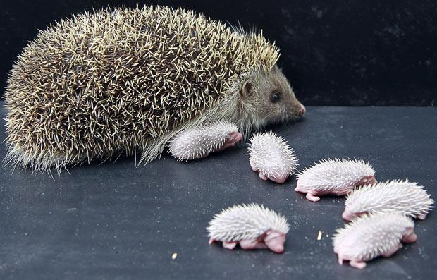 http://i.telegraph.co.uk/telegraph/multimedia/archive/01638/baby-hedgehogs_1638889i.jpg