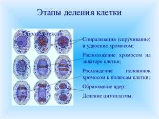 Этапы деления клетки Спирализация (скручивание) и удвоение хромосом; Располож