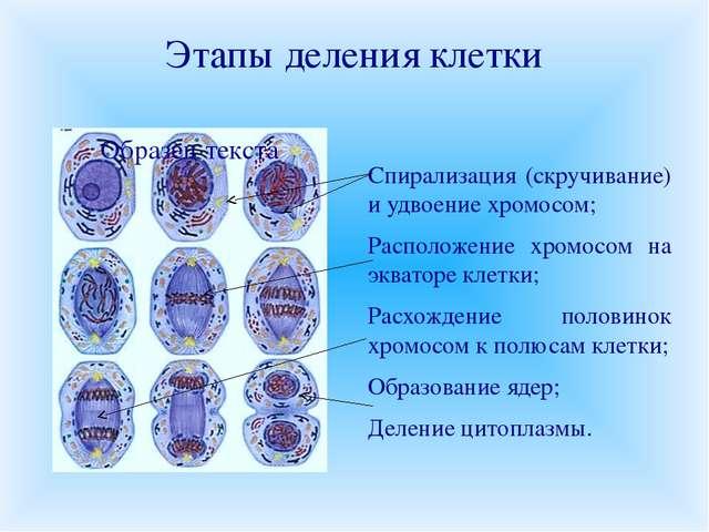 Этапы деления клетки Спирализация (скручивание) и удвоение хромосом; Располож...