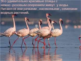 Это удивительно красивые птицы с нежно -розовым оперением живут у воды. Питаю