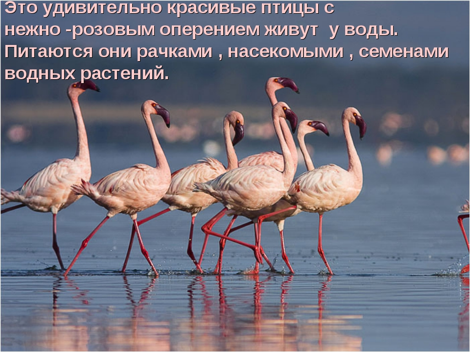 Это удивительно красивые птицы с нежно -розовым оперением живут у воды. Питаю...