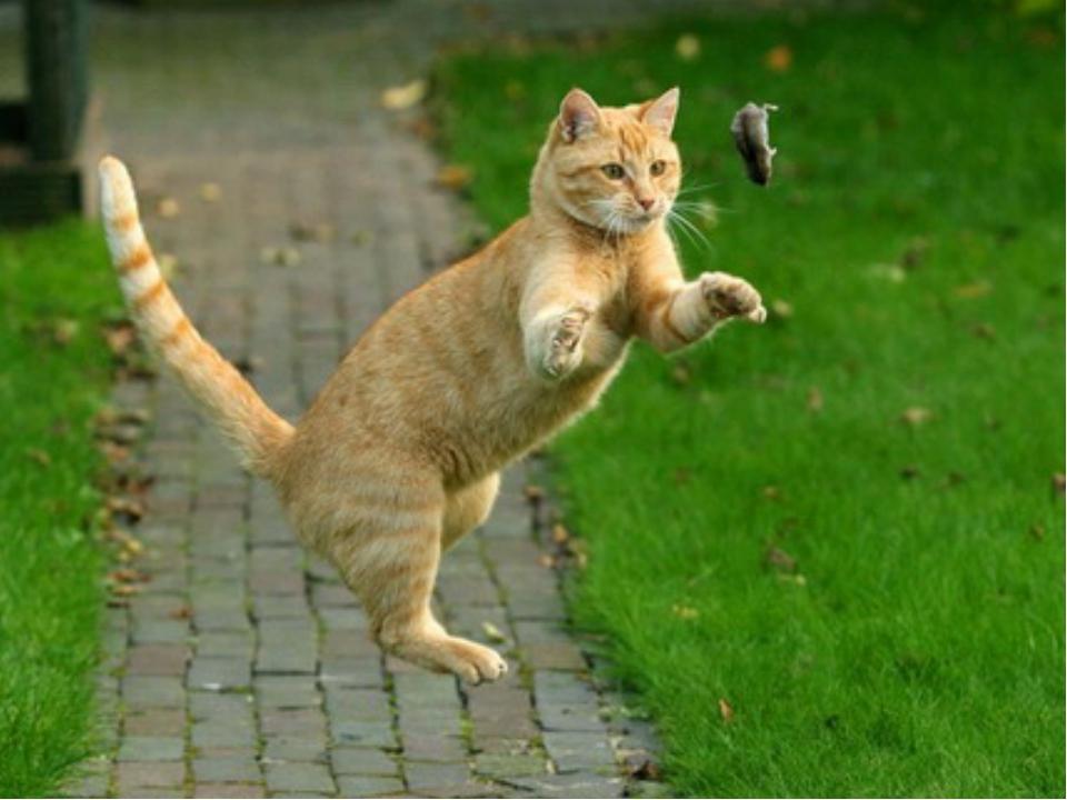Картинки коты ловят мышей