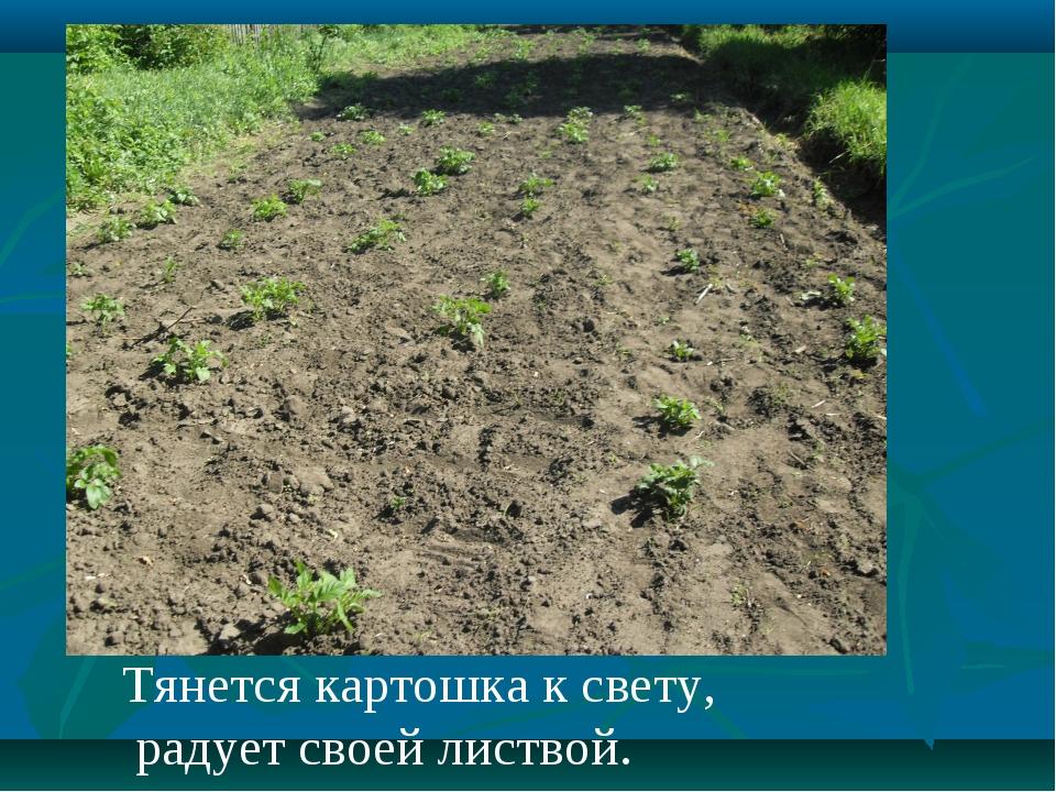Тянется картошка к свету, радует своей листвой.
