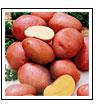 картофель - ранний сорт Алена