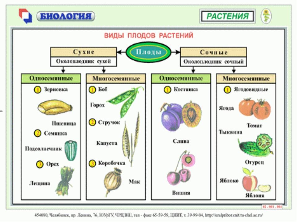мало семя у всех растений развивается в плодах кисломолочные