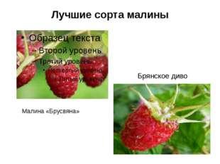 Лучшие сорта малины Малина «Брусвяна» Брянское диво