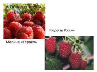 Малина «Геракл» Гордость России