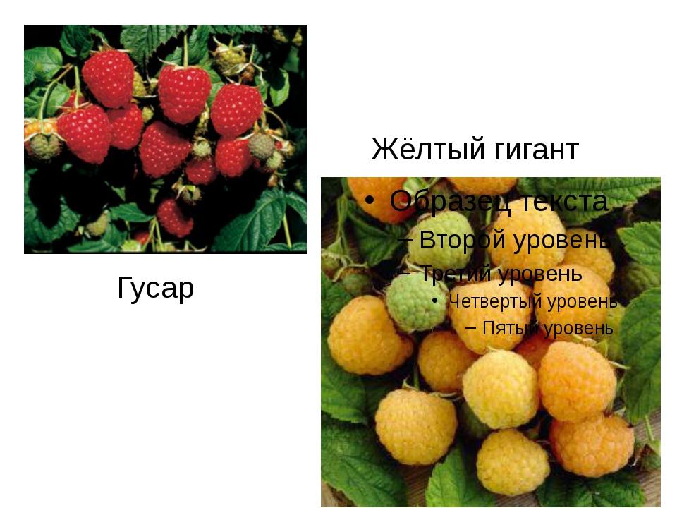 Гусар Жёлтый гигант