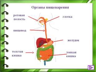 Это необходимо знать В ротовой полости мы пережёвываем пищу зубами, перемешив