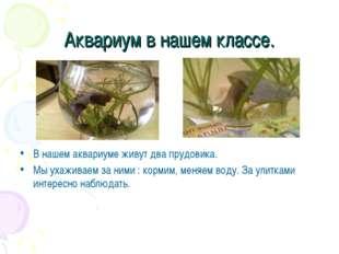 Аквариум в нашем классе. В нашем аквариуме живут два прудовика. Мы ухаживаем
