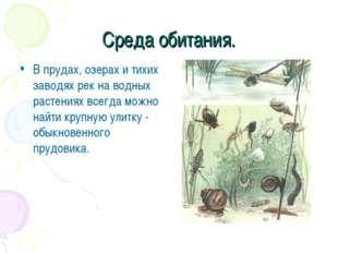 Среда обитания. В прудах, озерах и тихих заводях рек на водных растениях всег