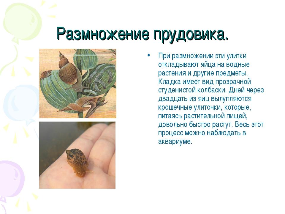 Размножение прудовика. При размножении эти улитки откладывают яйца на водные...