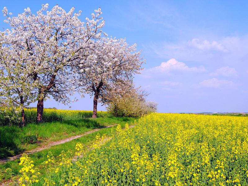 1920x1080 германия, деревья, весна, май, природа, поле, цвет, рапс обои на рабочий стол 74352