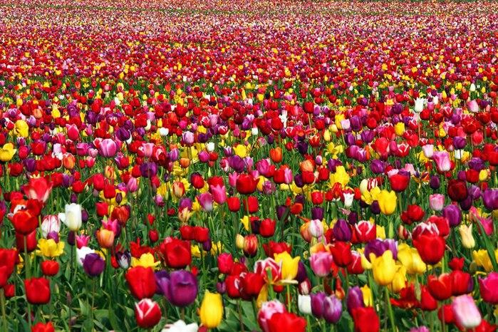 Документальные и научно-популярные фильмы онлайн / Мир в фотографиях / Самые яркие тюльпаны со всего света