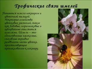 Трофические связи шмелей Питаются шмели нектаром и цветочной пыльцой. Некотор