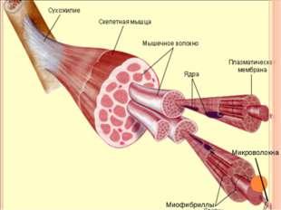 Миофибриллы Микроволокна