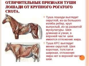 ОТЛИЧИТЕЛЬНЫЕ ПРИЗНАКИ ТУШИ ЛОШАДИ ОТ КРУПНОГО РОГАТОГО СКОТА. Туша лошади вы