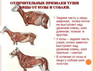 ОТЛИЧИТЕЛЬНЫЕ ПРИЗНАКИ ТУШИ ОВЦЫ ОТ КОЗЫ И СОБАКИ. Задняя часть у овцы широка
