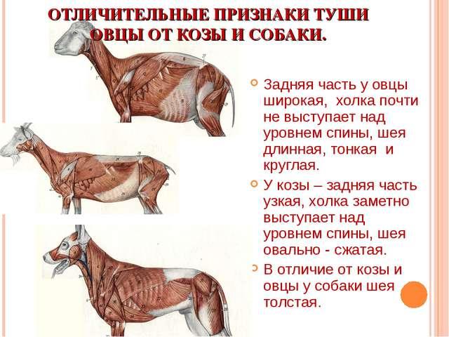 ОТЛИЧИТЕЛЬНЫЕ ПРИЗНАКИ ТУШИ ОВЦЫ ОТ КОЗЫ И СОБАКИ. Задняя часть у овцы широка...