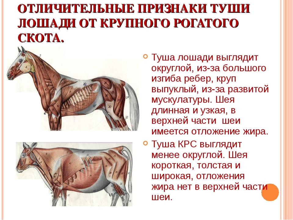 ОТЛИЧИТЕЛЬНЫЕ ПРИЗНАКИ ТУШИ ЛОШАДИ ОТ КРУПНОГО РОГАТОГО СКОТА. Туша лошади вы...