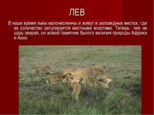 ЛЕВ В наше время львы малочисленны и живут в заповедных местах, где их количе