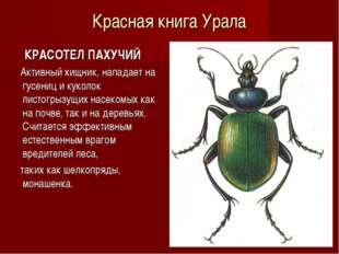 Красная книга Урала КРАСОТЕЛ ПАХУЧИЙ Активный хищник, нападает на гусениц и к