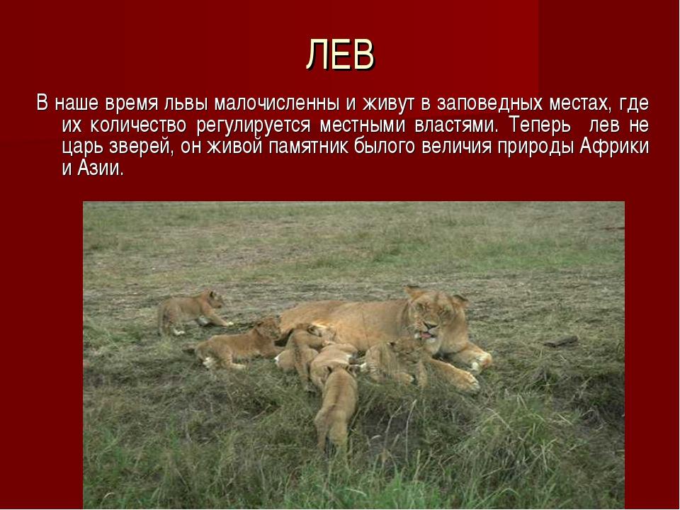 ЛЕВ В наше время львы малочисленны и живут в заповедных местах, где их количе...