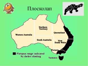 Плосколап Первые австралийские колонисты охотились на утконосов ради меха. Но