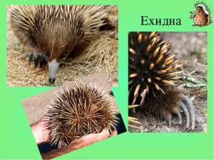 Ехидна Кроме утконоса - единственного вида семейства утконосовых в Австралии