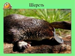 Шерсть Длина тела утконоса 30-40см, хвоста- 10-15см, весит он до 2кг. Сам