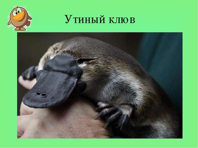 Утиный клюв Утиный клюв Первое что бросается в глаза при взгляде на утконоса...