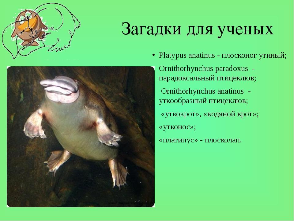 Загадки для ученых Platypus anatinus - плосконог утиный; Ornithorhynchus para...