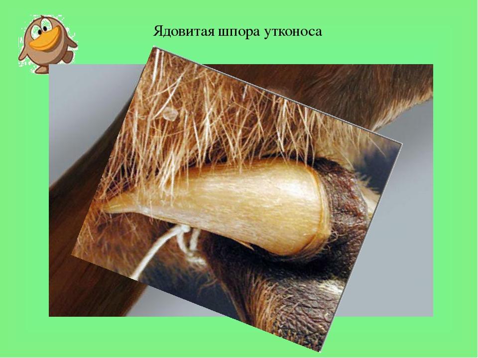 Ядовитая шпора утконоса Утконос - одно из немногих ядовитых млекопитающих (н...