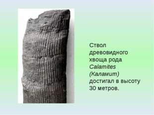 Ствол древовидного хвоща рода Calamites (Каламит) достигал в высоту 30 метров