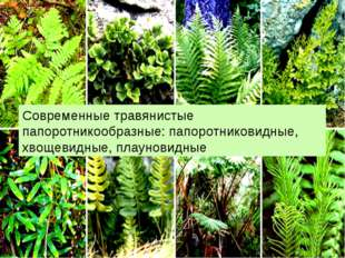 Современные травянистые папоротникообразные: папоротниковидные, хвощевидные,