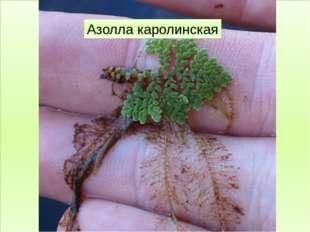 Папоротниковидные Фегоптерис буковый Кочедыжник женский Щитовник мужской Саль