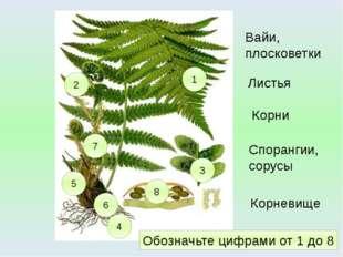1 4 3 2 5 Вайи, плосковетки Корни Спорангии, сорусы Листья 6 Корневище 7 8 Об
