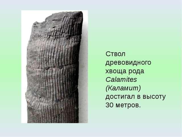 Ствол древовидного хвоща рода Calamites (Каламит) достигал в высоту 30 метров...